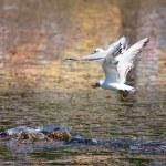 Verfolgung durch die Möwen eine Ente mit Mahlzeit — Stockfoto #2942175