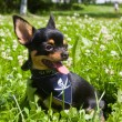 Royalty-Free Stock Photo: Chihuahua