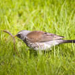 Fieldfare with prey — Stock Photo