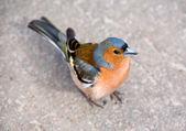 Vink (vogel — Stockfoto