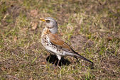 Fieldfare — Stockfoto