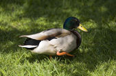 Duck in a grass close-up — Stock Photo