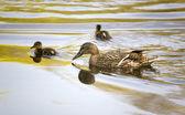 Família de patos — Fotografia Stock