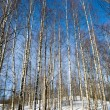 Winter birchwood — Stock Photo #2975298