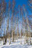 Winter birchwood — Stock Photo