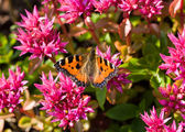 Butterfly on pink flowers — Stock Photo
