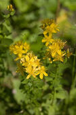 Herb St. John's wort — Stock Photo