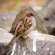 Stock Photo: Sparrow on stone