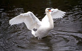 Swan in the full growth, waved wings — Stock Photo