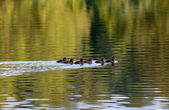 Flock of young ducklings — Stock Photo