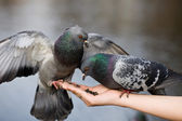 Two pigeons — Stock Photo