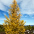 Yellow autumn larch — Stock Photo