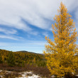 Stock Photo: Autumn larch