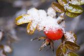 Snowed dog-rose — Stock Photo