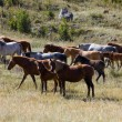 Herd of horses - Stock Photo