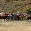 Herd of horses — Stockfoto