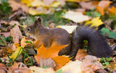 The squirrel eats an apple — Stock Photo
