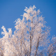 Birch in rime — Stock Photo