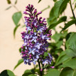 Branch of a lilac — Stock Photo