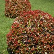 Stock Photo: Red bushes