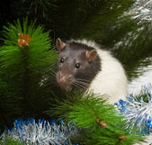 Rat among the boughs — Stock Photo