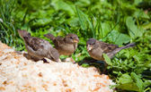 Three sparrows — Stock Photo