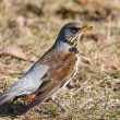 Fieldfare (turdus pilaris) — Stock Photo #3289408