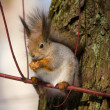 The squirrel on branch — Stock Photo #3292832