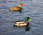 Pair of ducks — Photo