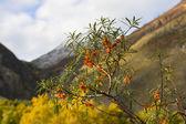 山と海クロウメモドキの果実 — ストック写真