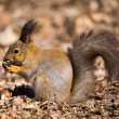 Squirrel with a nut - Stock Photo