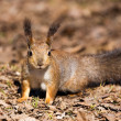 Squirrel — Stock Photo #3356202
