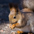Squirrel with sunflower seeds — Stock Photo
