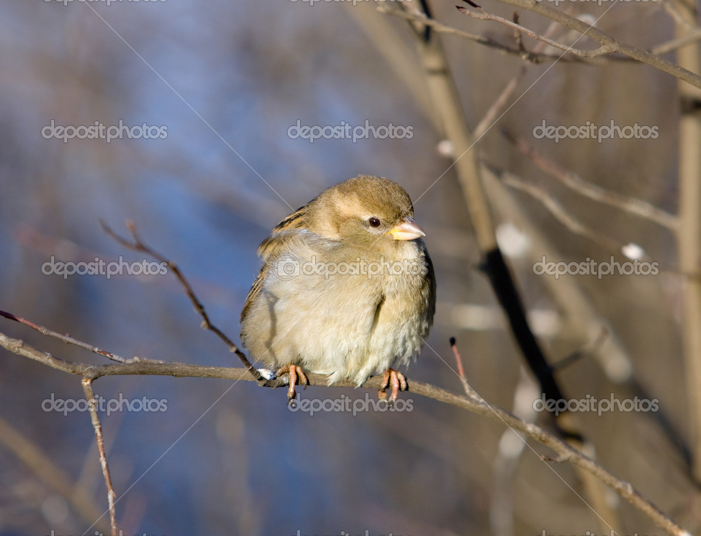 Sparrow on a bush branch close up — Stock Photo #3383154