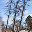 Stock Photo: Three larches
