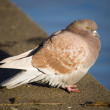 Pigeon on parapet — Stock Photo