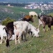 Herd of goats — Foto de Stock