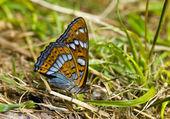 Butterfly (Melitaea) in grass — Foto Stock