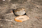 Sparrow with bread — Stock Photo