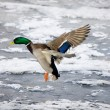 Stock Photo: Landing on a winter river