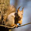 Squirrel with a nut - Stockfoto