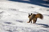 Running squirrel — Stock Photo