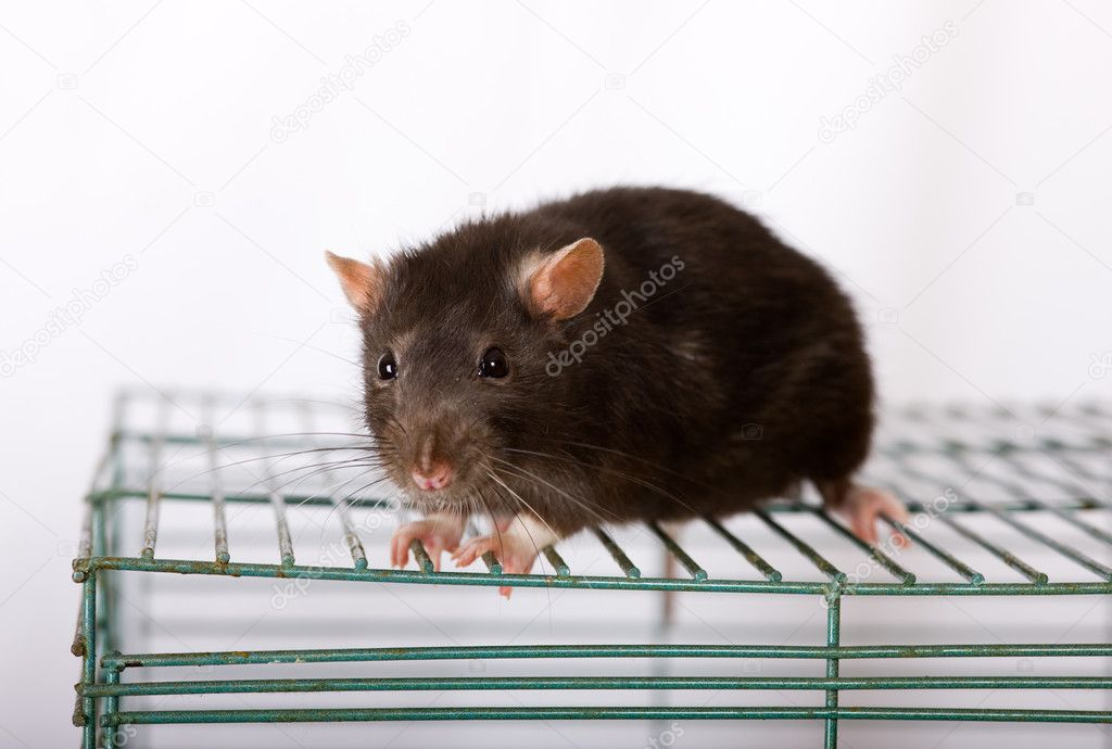 Black domestic rat on a cage close up — Stock Photo #3502910