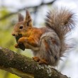 Hungry squirrel — Stockfoto