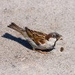Stock Photo: Sparrow