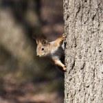 Curious squirrel — Stock Photo