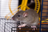 The small grey rat — Stock Photo