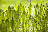 Ferns background — Stock Photo