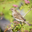 Sparrow on a branch — Stock Photo
