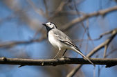 Wagtail close up — Stock Photo
